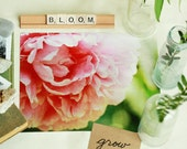 Flower Blossom Botanical Pink Peony Nature  - 11 x 14 art print by Dawn Smith