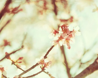 Cherry Blossoms spring botanical blooms soft dreamy - 8x12 photography art print by Dawn Smith