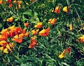 Art card/wall art/4x6 print, Field of Poppies