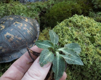 Jewel Orchid & Live Moss Downy Rattlesnake Plantain for Terrariums, Fairy Gardens, Moss Dish Gardens