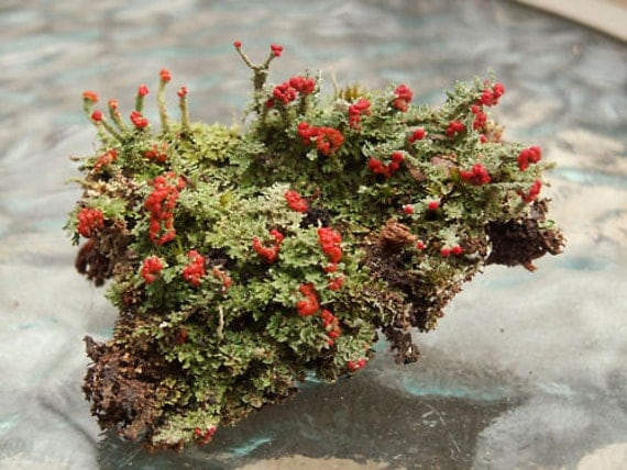 2 Pc British Soldier Lichen Cladonia for Terrariums Fairy Gardens Bonsai Beautiful Specimens