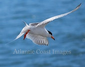 Foster's Tern Nature Photo Greeting/Note Card or Photograph