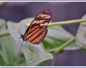 Tiger Longwing Butterfly Nature Photo Greeting/Note Card or Photograph
