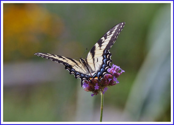 Swallowtail Butterfly Nature Photo Greeting/Note Card or Photograph
