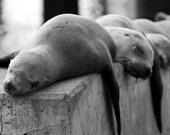 "Sea Lions Napping at Moss Landing, CA - ""Sleepy Sea Lions"""