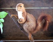 real  vintage French taxidermy squirrel