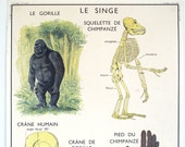 Vintage french school map, The Monkey, and the CAT double sided natural history print industrial look pull down