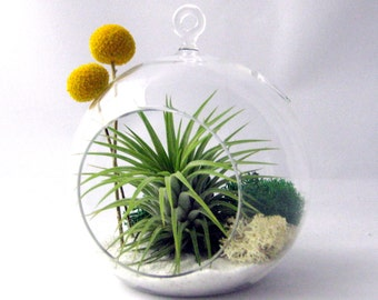 Tillandsia Billy Buttons Air Plant Terrarium