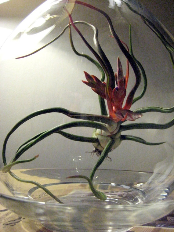 Suspended series tillandsia bulbosa reserved for by seaandasters