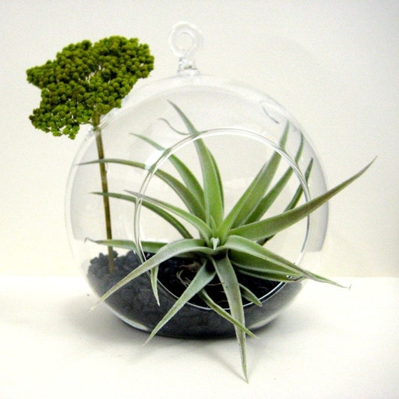 Green Yarrow Air Plant Terrarium