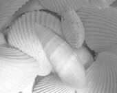 Seashells Photo, Pure White Shells, Bleached by the Sun, 20 x16,  Fine Art  Photograph