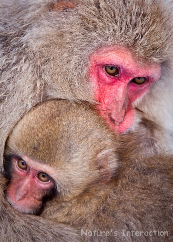 Set of quantity 5: Snow Monkey Mom and Child Embrace Photo Card