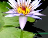 Water Lily, 5x7 Photo Print, Matted to 8x10 Ready to Ship