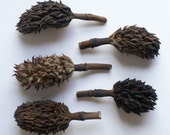 Dried Magnolia Seedpods - set of 5 large pods