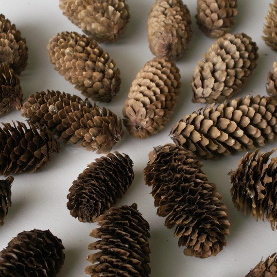 Dried Spruce Pine cones - unique seed cones - lot of 25