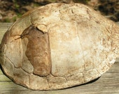 turtle shell art supplies medium media real natural native american indian biology