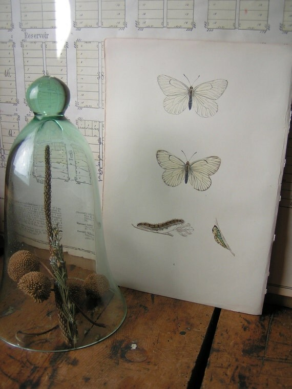 Vintage White Butterfly Botanical Print from an 1880's book - Plate No 6