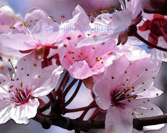 Flower Photography Greeting Card Pink and Cranberry Cherry Tree Blossoms in Nature Photo Print Wall Art