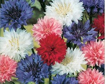 Star Spangled Cornflower Clash (Cyanus)