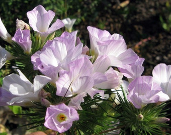 Mountain Majesty Phlox