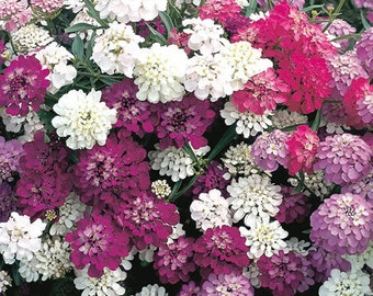 Sweetie Puff Candytuft Mix