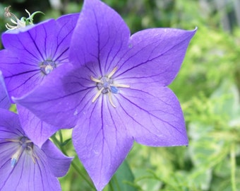 Azure Sapphire Bellflower