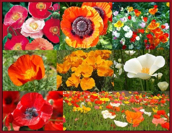 The Poppy PowWow- All 8 Varieties