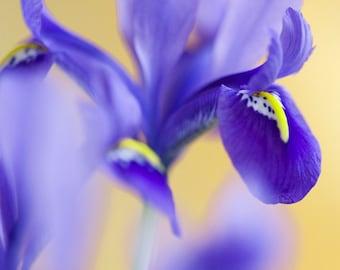 Iris on Gold04 Fine Art Photograph