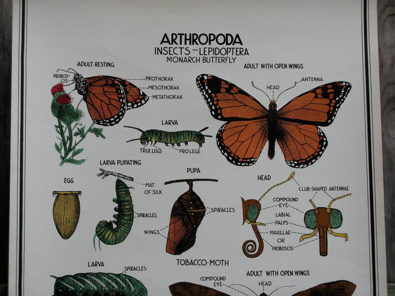 Vintage Butterfly Biology Wall Chart School Poster  Vintage Butterfly Chart