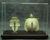 real turtle skeletons with the base and plastic case
