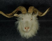Taxidermy of Real goat head with horn,check detail picture