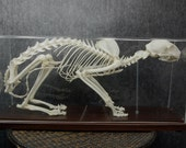 Real cat skeleton Standing position  Free shipping to worldwide