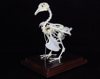 Real pigeon ,dove skeleton, specimen, with display case and  base