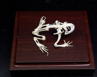 Real toad skeletons with case and base,display/gift