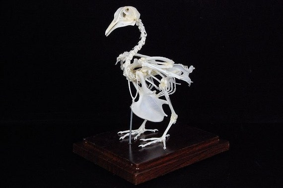 Real pigeon skeletons