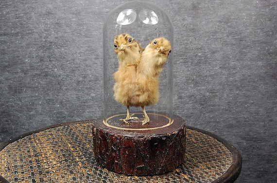 taxidermy of 2 head freak chick made by 2 chicks mounted with case and base