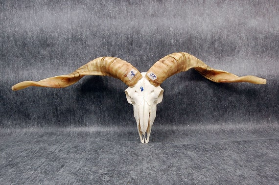 Real goat skull without the lower-jaw, art work,NO30