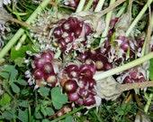 Garlic Bulb Seed - German Red, 100 Bulbils, No Chemicals, 2016, FREE SHIPPING