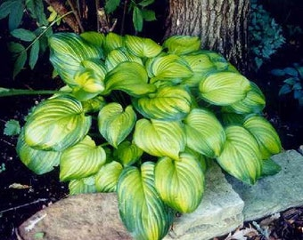 Large Hosta, Guacamole, Live Plants, 2002 Hosta of the Year