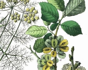 1886 Common Hogweed, Asparagus, Elm, Fennel, Pasternak Original Antique Chromolithograph