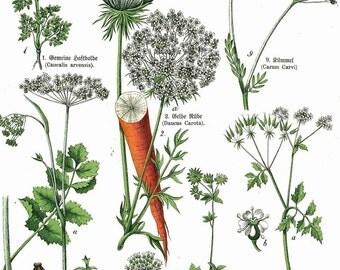 1886 Great Masterwort, Burnet Saxifrage, Coriander, Carrot Original Antique Chromolithograph