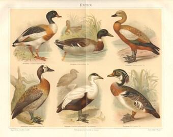 1894 Ducks, Common Shelduck, Mallard, Ruddy Sheldrake, White-faced Whistling Duck, Common Eider, Wood Duck Antique Chromolithograph