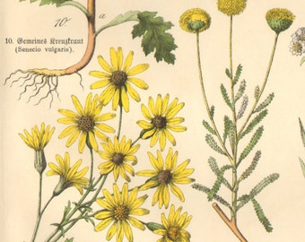 1886 Lavender, Absinthium, Coltsfoot, Gnaphalium Leontopodium, Woundwort, Common Groundsel,   Ragwort  Antique Lithograph