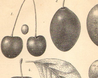 1891 Drupes, Different Kinds of Stone Fruits, Cherry, Plum, Peach, Apricot Antique Engraving to Frame