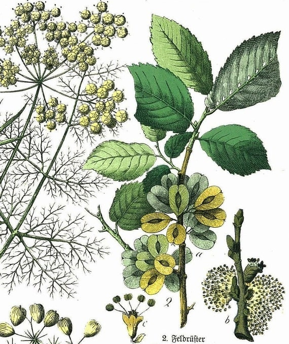 1886 Common Hogweed, Asparagus, Elm, Fennel, Pasternak Original Antique Chromolithograph