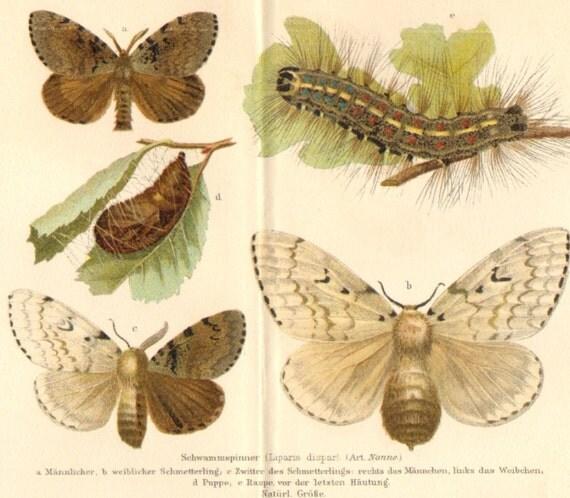 1897 Moths, Gypsy Moth, Spruce Moth, Processionary Moth, Pine-tree Lappet Original Antique Chromolithograph to Frame