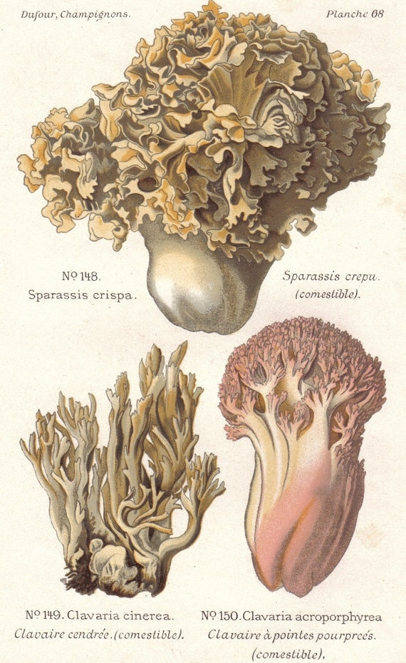 1891 Cauliflower Mushroom, Grey Clavaria and Clavaria Acroporphyrea Mushroom Original Antique Lithograph to Frame