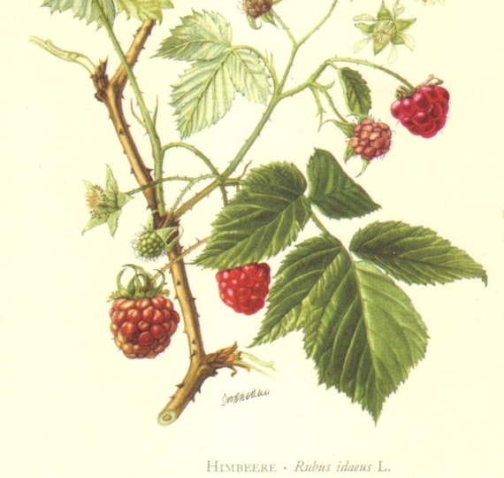 1958 Leaves and Fruits of the Red Raspberry Vintage Offset Lithograph to Frame