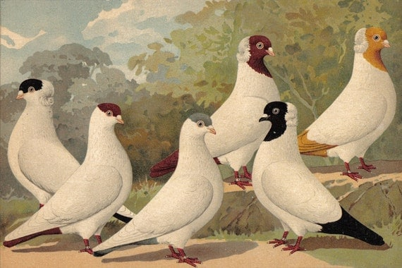 1910 German Nun Tumbler and Krymka Tumbler Pigeons Brilliantly Coloured Antique Chromolithograph