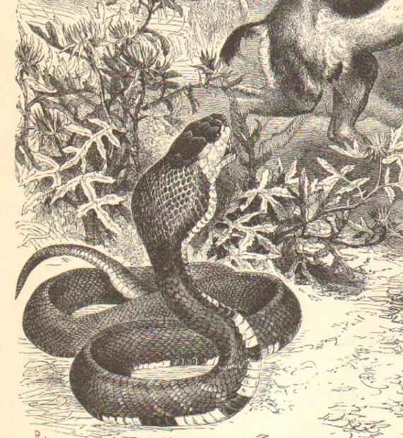 1900 Egyptian Cobra Original Antique Engraving to Frame